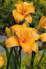 319 X 478 39.9 Kb 478 X 359 48.2 Kb Горшечные ЦВЕТЫ, Цветы для сада*Предзаказ ВЕСНА 2016-СБОР