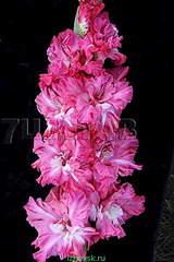 319 X 478 32.9 Kb 295 X 478 45.5 Kb Горшечные ЦВЕТЫ, Цветы для сада*Предзаказ ВЕСНА 2016-ОПЛАТА, ОКС -в ЦРП