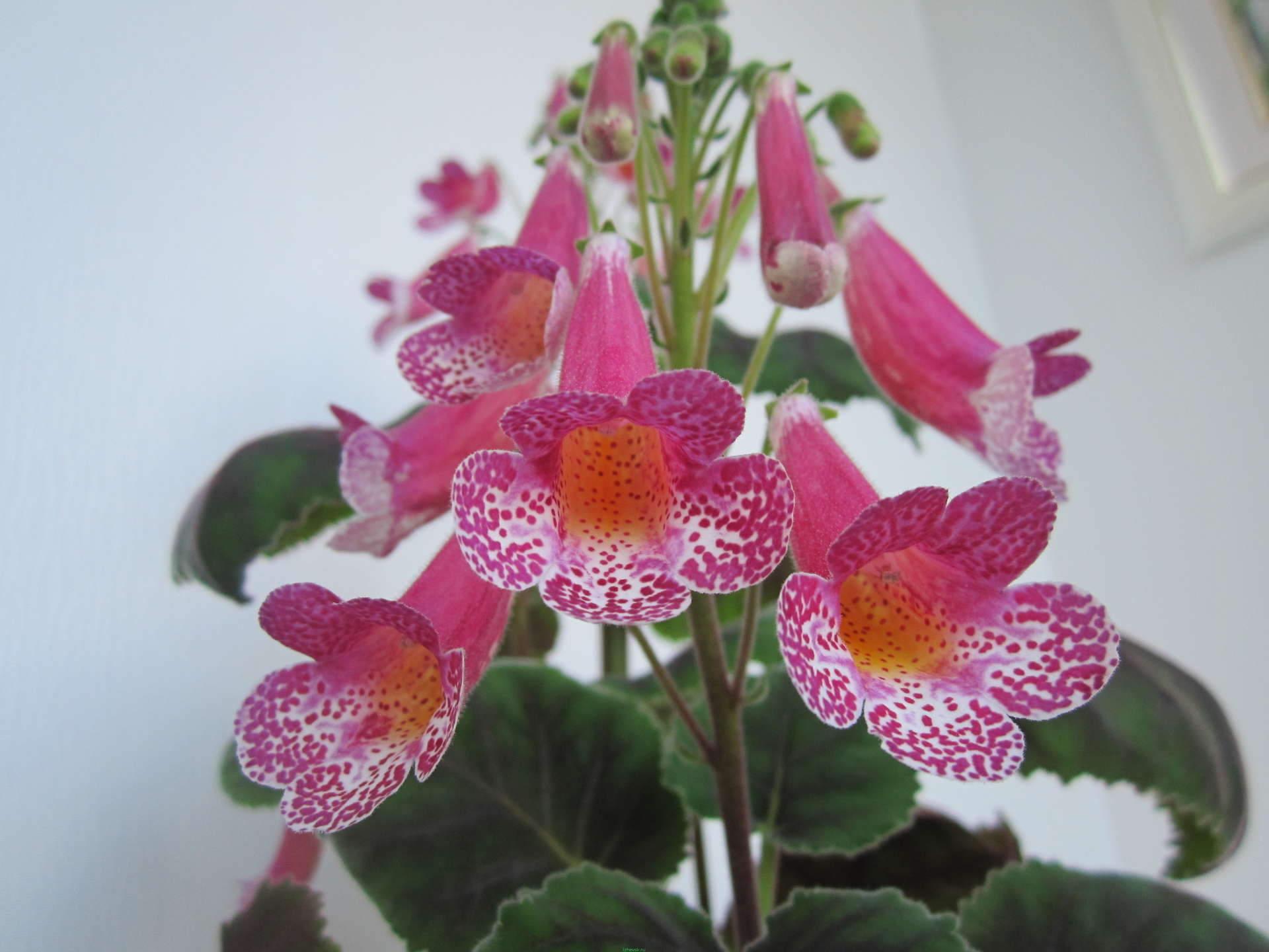 Цветок геснерия
