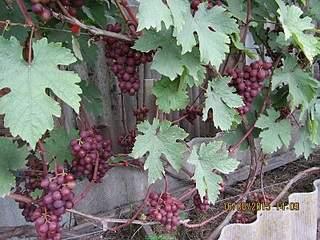 800 X 600 266.2 Kb Саженцы винограда. Продам.