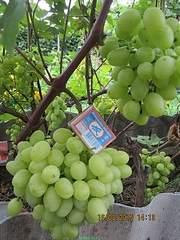 600 X 800 236.3 Kb 800 X 600 238.7 Kb 800 X 600 245.5 Kb 800 X 600 266.2 Kb Саженцы винограда. Продам.