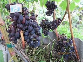 800 X 600 246.3 Kb 800 X 600 270.9 Kb 800 X 600 251.8 Kb 800 X 600 233.2 Kb 800 X 600 183.1 Kb Саженцы винограда. Продам.