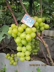 600 X 800 214.5 Kb Саженцы винограда. Продам.