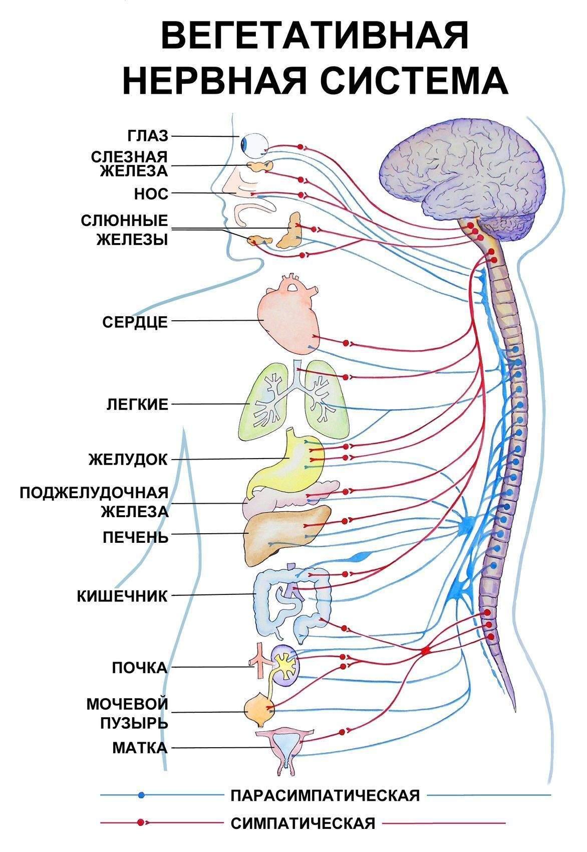 Вегетативная нервная система причины