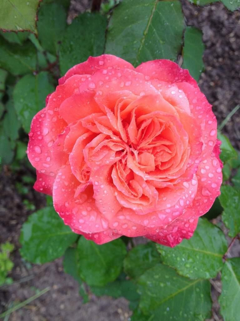 Череночник для роз