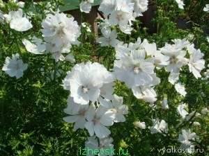 Цветы невеста садовые выращивание 3