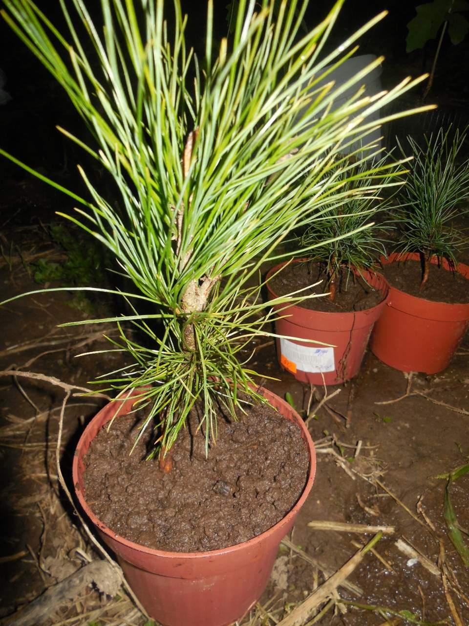 Выращивать кедр в домашних условиях 147