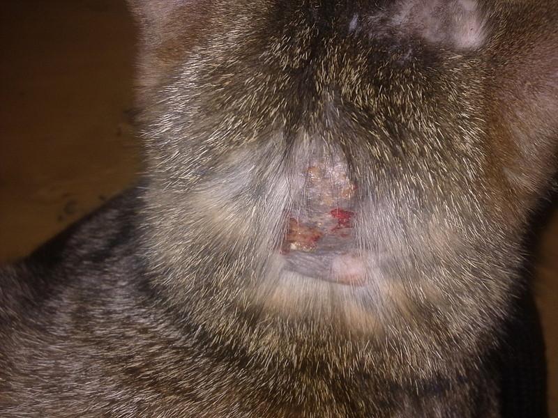 У кота выпала вся шерсть на шее