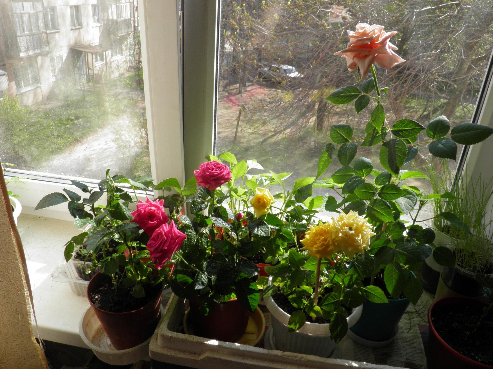 Комнатные розы летом на подоконнике