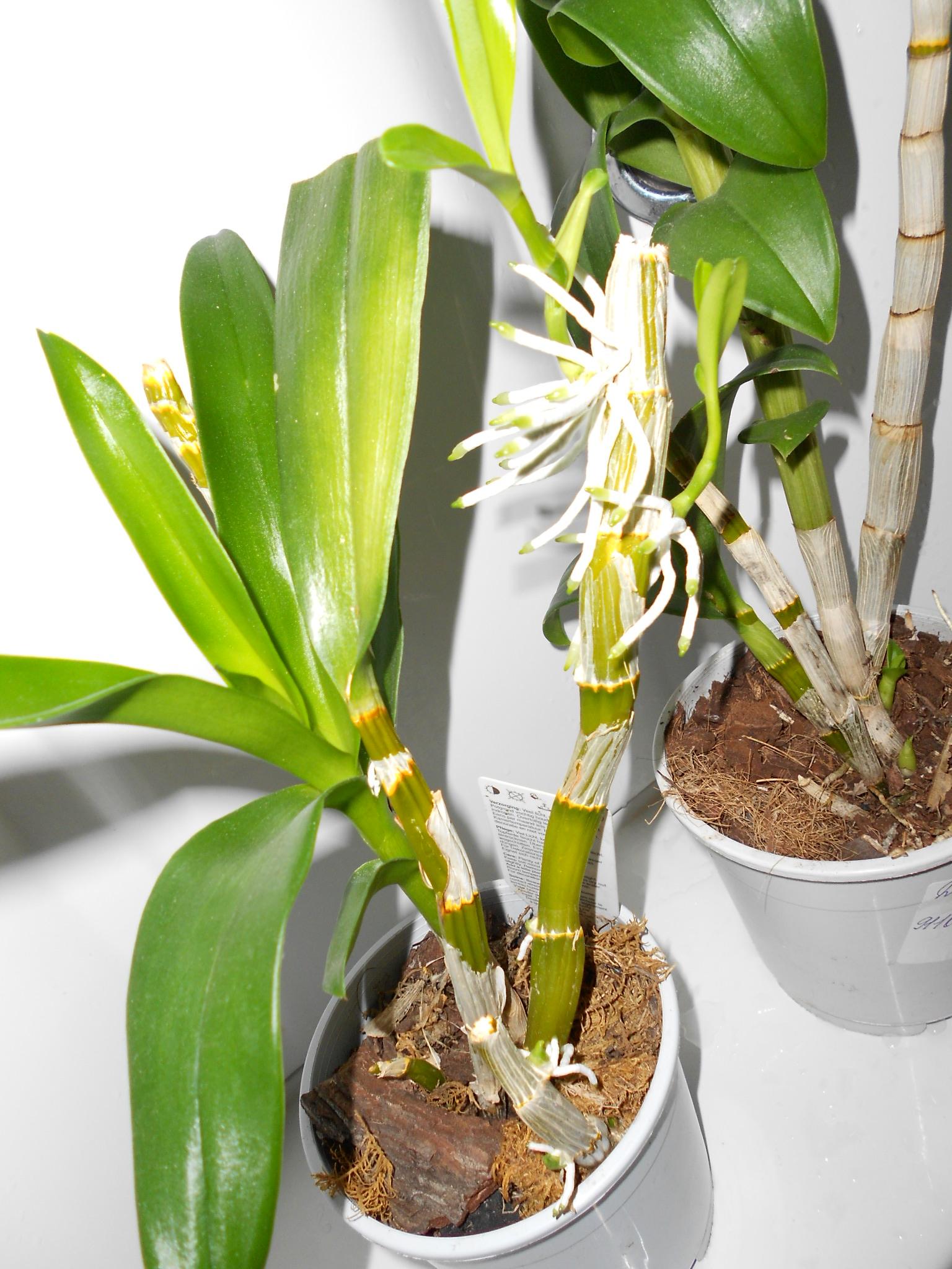 Псевдобульба орхидеи фото одно десятилетие
