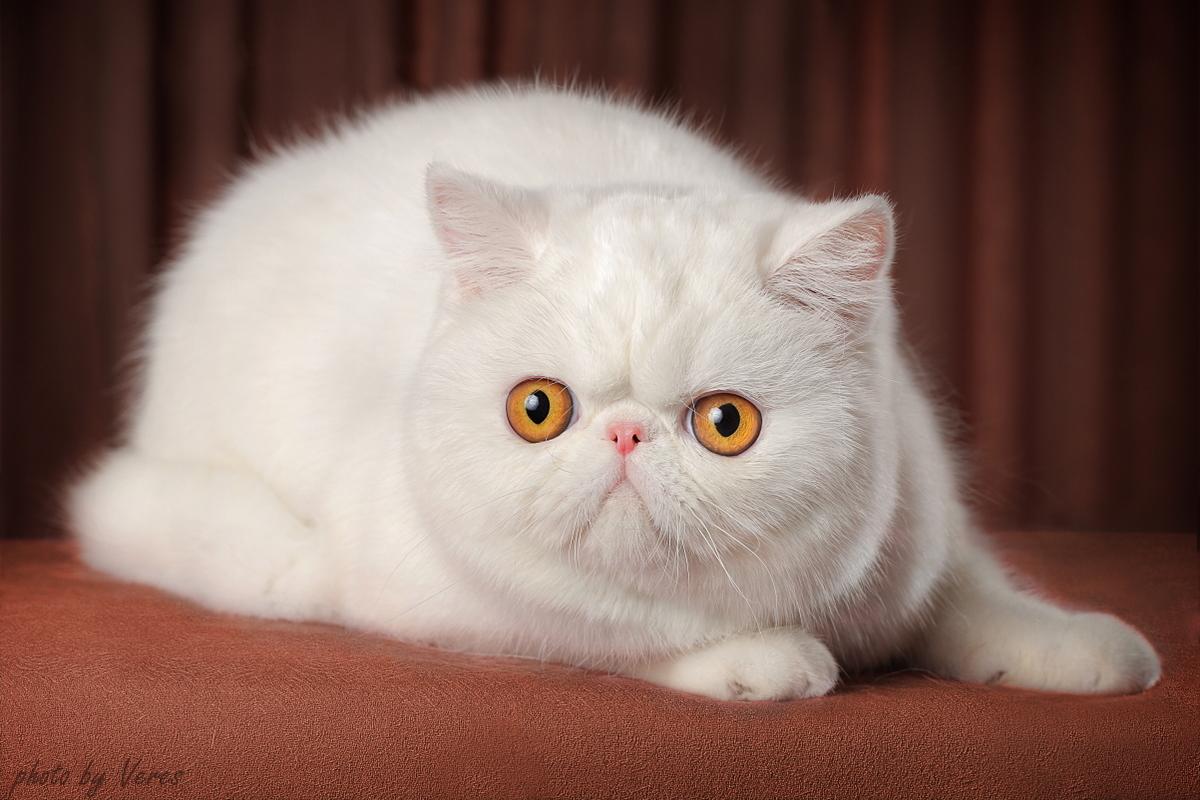комнату персидская экзотическая кошка фото электродвигатели