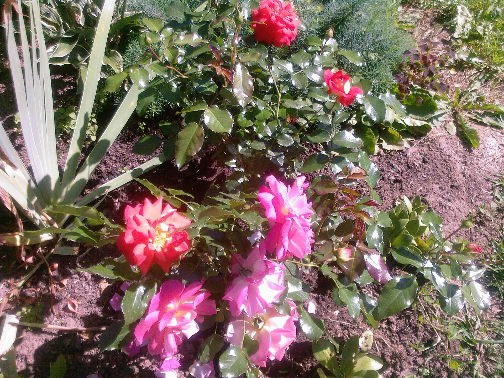 цветок люция фото