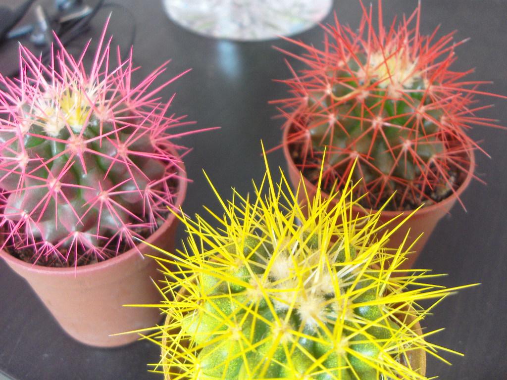 Фото цветы кактус без иголка