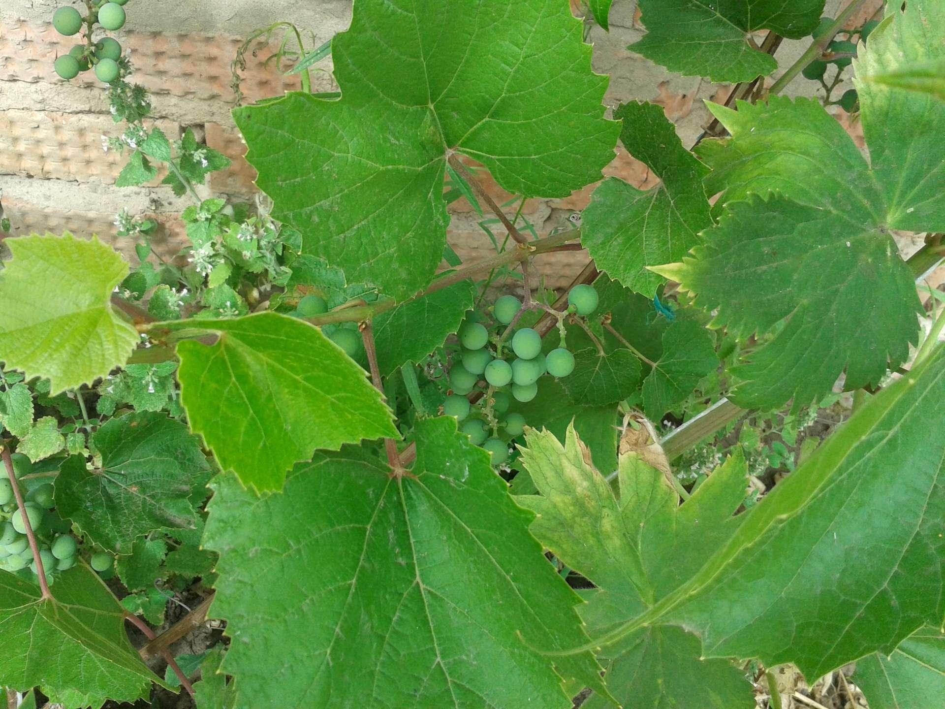 сорвать листья у винограда