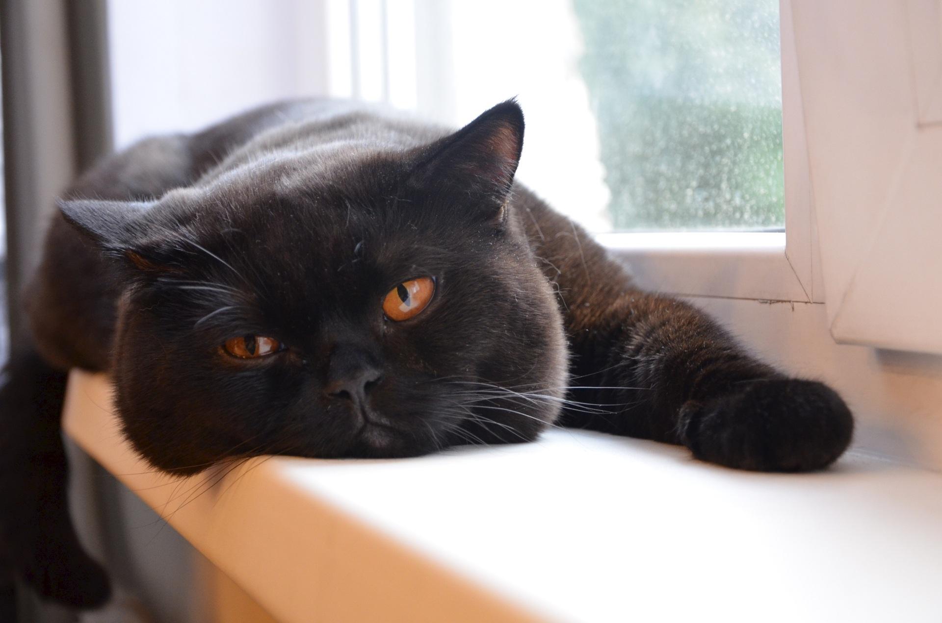 британец черный котенок фото печени