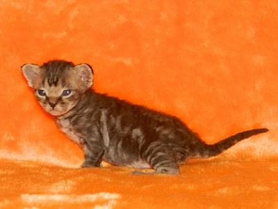 1920 X 1440 338.6 Kb Девон рекс - эльфы в мире кошек