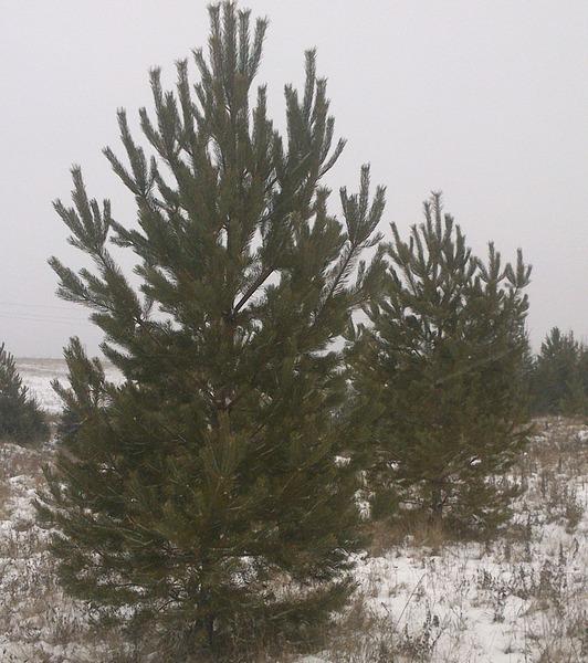 1920 X 2164 844.4 Kb Продам живые новогодние елки и сосны.
