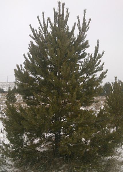 1920 X 2691 459.7 Kb 1920 X 2164 844.4 Kb Продам живые новогодние елки и сосны.