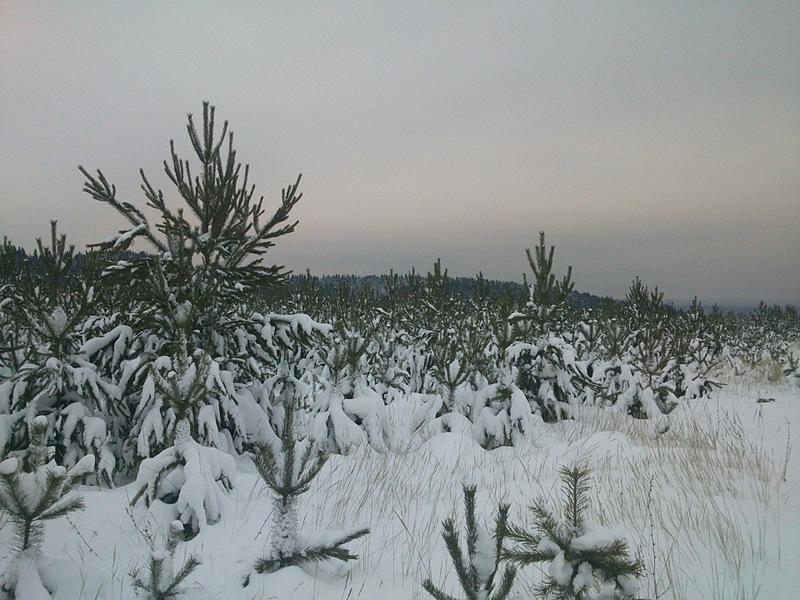 1920 X 1440 735.0 Kb Продам живые новогодние елки и сосны.