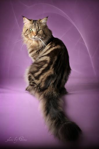 341 x 512 МЕЙН-КУНЫ - мои гордые, нежные и ласковые коши, у нас есть котята