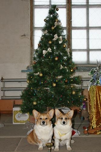 333 x 500 Веточка для Коржиков и абиссинская кошка.