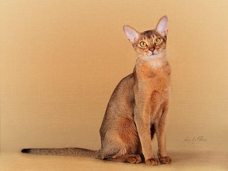 958 X 718 101.5 Kb Веточка для Коржиков и абиссинские кошки.