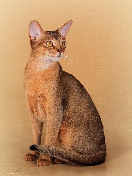 580 X 773  90.3 Kb 958 X 718 101.5 Kb Веточка для Коржиков и абиссинские кошки.