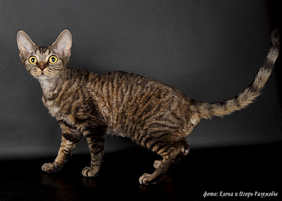 1920 X 1371 653.0 Kb Девон рекс - эльфы в мире кошек