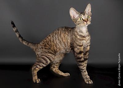 1920 X 1371 782.0 Kb 1920 X 1371 653.0 Kb Девон рекс - эльфы в мире кошек
