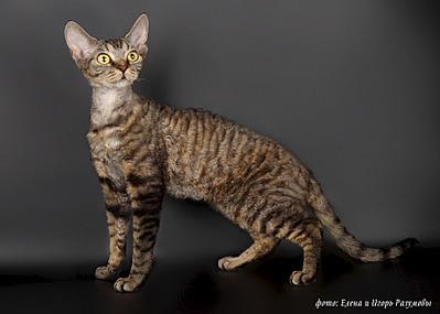1920 X 1371 762.2 Kb 1920 X 1371 782.0 Kb 1920 X 1371 653.0 Kb Девон рекс - эльфы в мире кошек
