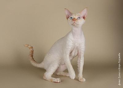 1920 X 1371 1010.6 Kb Девон рекс - эльфы в мире кошек