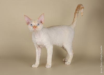 800 X 572 70.0 Kb Девон рекс - эльфы в мире кошек