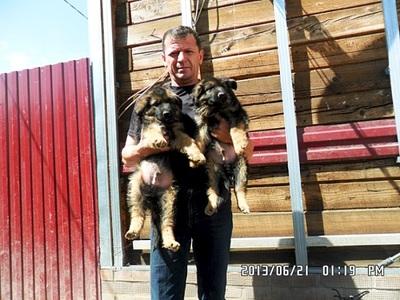 640 X 480 111.4 Kb Немецкие овчарки
