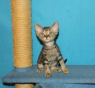 1515 X 1412 591.9 Kb Девон рекс - эльфы в мире кошек