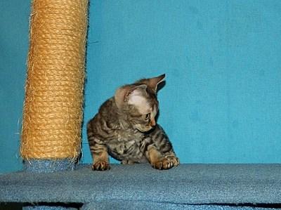 1834 X 1372 736.9 Kb 1515 X 1412 591.9 Kb Девон рекс - эльфы в мире кошек