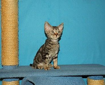 1906 X 1546 536.1 Kb 1834 X 1372 736.9 Kb 1515 X 1412 591.9 Kb Девон рекс - эльфы в мире кошек