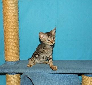 1744 X 1611 760.5 Kb 1906 X 1546 536.1 Kb 1834 X 1372 736.9 Kb 1515 X 1412 591.9 Kb Девон рекс - эльфы в мире кошек