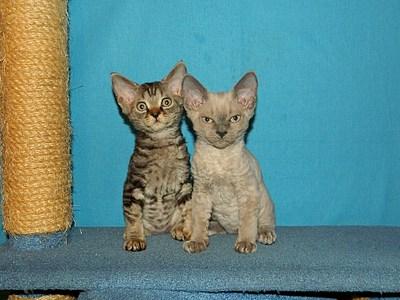 1920 X 1440 713.5 Kb Девон рекс - эльфы в мире кошек