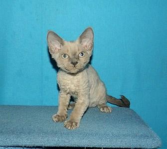 1825 X 1632 839.8 Kb Девон рекс - эльфы в мире кошек