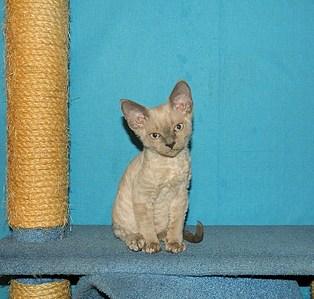 1712 X 1632 794.5 Kb 1512 X 1240 522.2 Kb 1920 X 1374 814.7 Kb 1825 X 1632 839.8 Kb Девон рекс - эльфы в мире кошек