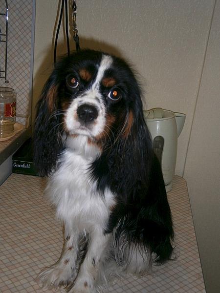 1920 X 2560 312.9 Kb Кавалер-кинг-чарльз-спаниель. Собака, создающая комфорт. У нас есть ЩЕНКИ!