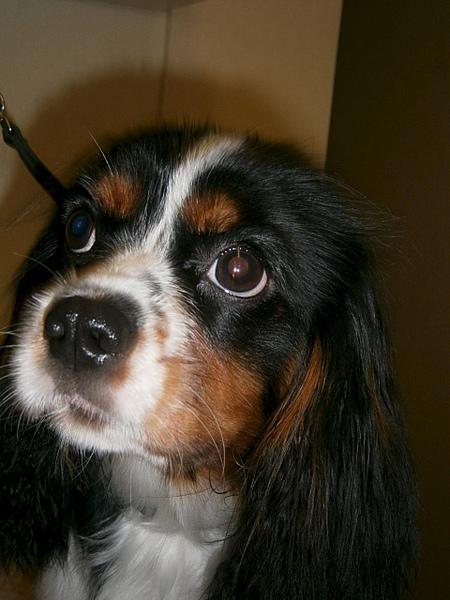 1920 X 2560 338.0 Kb 1920 X 2560 312.9 Kb Кавалер-кинг-чарльз-спаниель. Собака, создающая комфорт. У нас есть ЩЕНКИ!