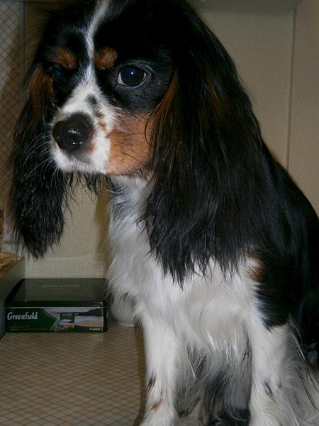 1920 X 2560 320.3 Kb Кавалер-кинг-чарльз-спаниель. Собака, создающая комфорт. У нас есть ЩЕНКИ!