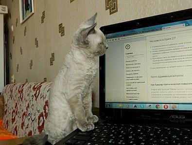 1920 X 1458 693.8 Kb Девон рекс - эльфы в мире кошек