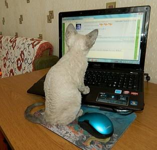 1920 X 1839 879.1 Kb Девон рекс - эльфы в мире кошек