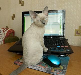 1920 X 1783 754.5 Kb Девон рекс - эльфы в мире кошек
