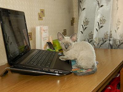 1920 X 1440 609.9 Kb Девон рекс - эльфы в мире кошек