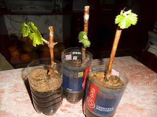 1920 X 1440 611.5 Kb виноград