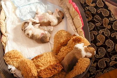1920 X 1274 641.3 Kb Веточка для Коржиков. У нас родились абиссинские котята и щенки пемброка