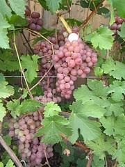 600 X 800 216.6 Kb 700 X 525 188.2 Kb Саженцы винограда. Продам.